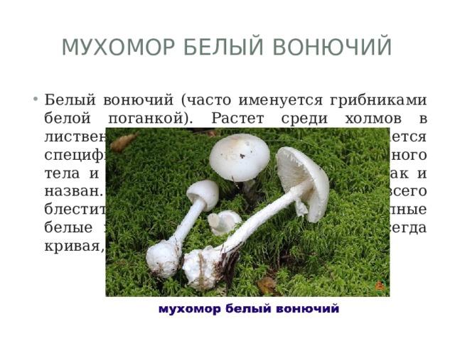Мухомор белый вонючий