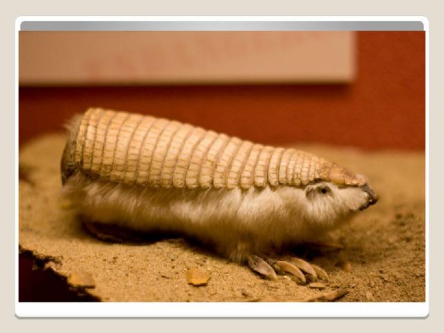 эндемик пустынь и кустарниковых земель центральной Аргентины, который, в основном, живет в рыхлых песчаных дюнах, и это предпочтение ограничивает возможные районы проживания. Самый маленький сохранившийся броненосец, он имеет длину тела приблизительно 13 см и среднюю массу тела 120 г.