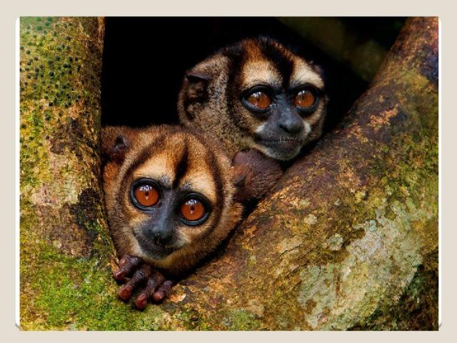 ведут ночной образ жизни, являются единственными ночными обезьянами в Новом Свете. Они обычно становятся активными вскоре после захода солнца и возвращаются в дневные гнезда незадолго до восхода солнца. Ночные обезьяны путешествуют и питаются всю ночь, с периодом отдыха около полуночи. Это социальные, живущие в небольших семейных группах животные.