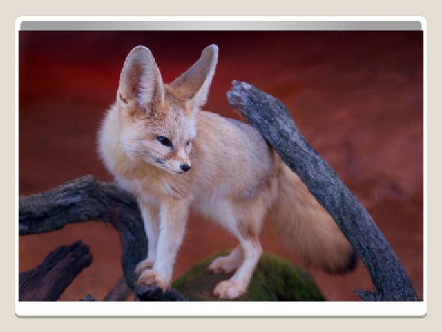 весом всего до одного килограмма и длиной не более 60 см фенек (Vulpes zerda) является наименьшим из всех лисиц. Его легко узнают по огромным ушам длиной около десяти сантиметров, больших черных глазах и маленькой мордочке. Наибольшие популяции фенеков встречаются в центральной Сахаре, хотя вид встречается и в других районах. В пустынной среде фенек будет потреблять почти всю доступную пищу. Маленькие грызуны, ящерицы, птицы, яйца и насекомые − обычная добыча. Фрукты, листья и корни также являются важной частью рациона фенека, так как они обеспечивают почти 100% воды.
