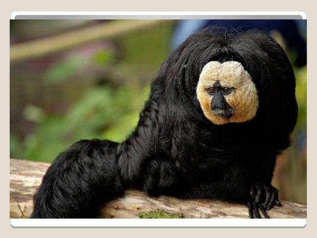 встречается в Бразилии и в отдаленных частях Венесуэлы. Средняя масса взрослого примата составляет 1,8 кг. Однако небольшой половой диморфизм отделяет самцов (2,38 кг) от самок (1,76 кг). Бледный саки имеет длинный густой хвост, который использует для баланса при прыжке с дерева на дерево. В дикой природе бледный саки, как известно, живет около 15 лет.