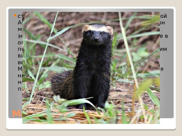 стречается в центральной и южной частях Южной Америки. Животные занимают широкий диапазон мест обитания, и их можно встретить в экстремальных условиях аридного Чако, а также в окружающей среде с обширным растительным покровом в сочетании с открытой водой. К другим видам обитания относятся лиственные и вечнозеленые леса, саванны и горные районы. Малый гризон – небольшой хищник, что охотится на мелких млекопитающих, птиц, ящериц, насекомых. В небольшом количестве также питается фруктами.