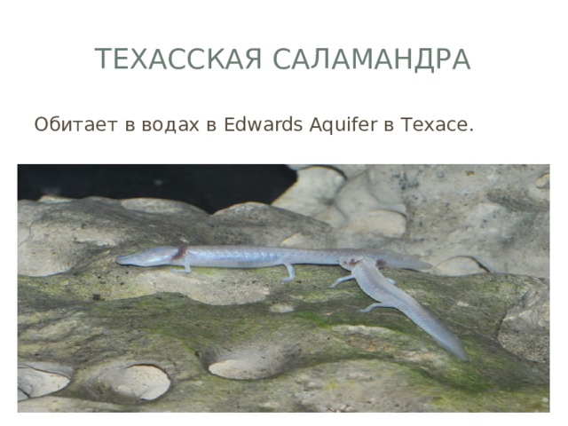 Техасская саламандра Обитает в водах в Edwards Aquifer в Техасе.