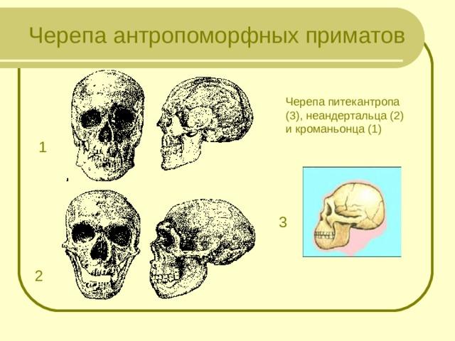 Черепа антропоморфных приматов Черепа питекантропа (3), неандертальца (2) и кроманьонца (1) 1 3 2