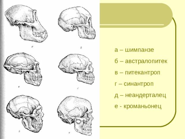 а – шимпанзе б – австралопитек в – питекантроп г – синантроп д – неандерталец е - кроманьонец