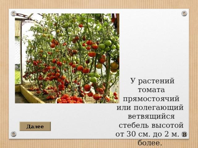 У растений томата прямостоячий или полегающий ветвящийся стебель высотой от 30 см. до 2 м. и более . Далее