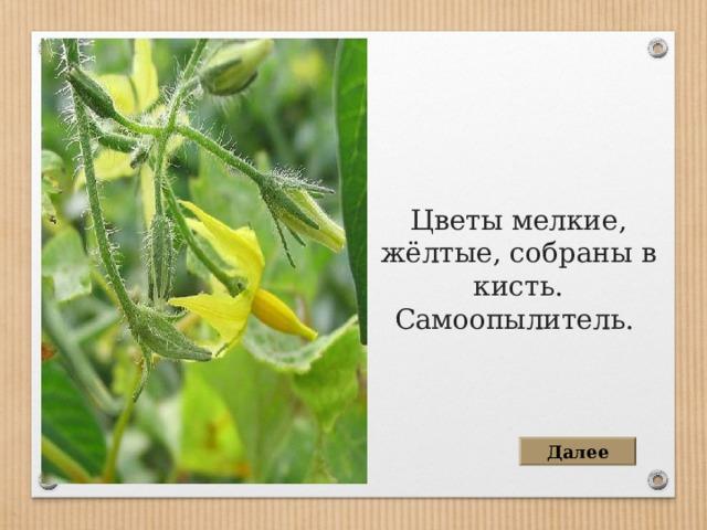 Цветы мелкие, жёлтые, собраны в кисть. Самоопылитель. Далее