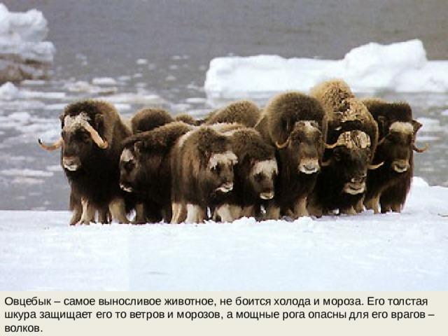 Овцебык – самое выносливое животное, не боится холода и мороза. Его толстая шкура защищает его то ветров и морозов, а мощные рога опасны для его врагов – волков.