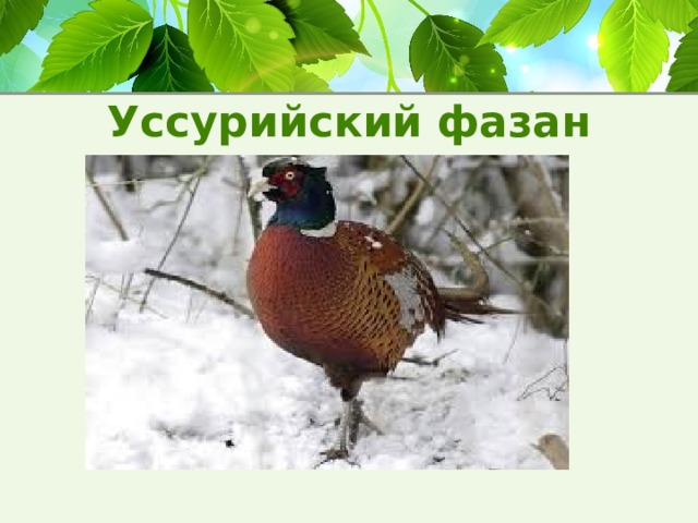 Уссурийский фазан