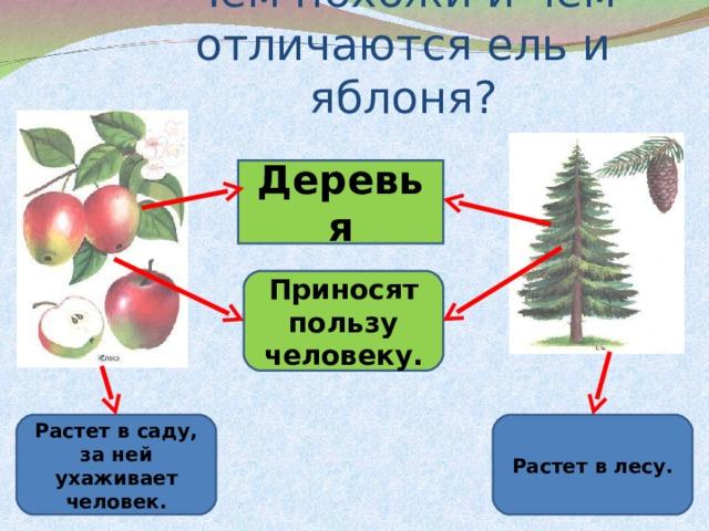 Чем похожи и чем отличаются ель и яблоня? Деревья Приносят пользу человеку. Растет в саду, за ней ухаживает человек. Растет в лесу.