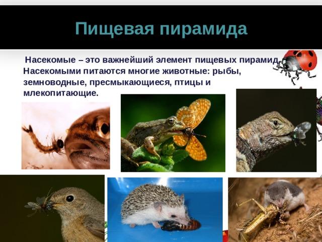 Пищевая пирамида  Насекомые – это важнейший элемент пищевых пирамид. Насекомыми питаются многие животные: рыбы, земноводные, пресмыкающиеся, птицы и млекопитающие.  www.PresentationPro.com
