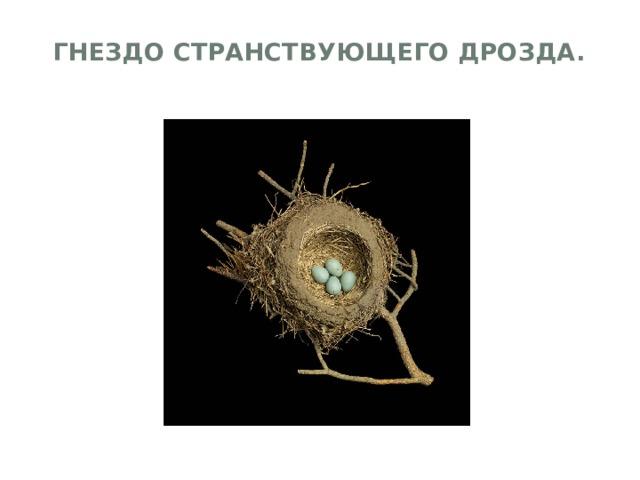 Гнездо странствующего дрозда.