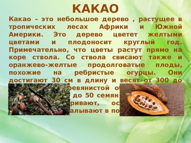 КАКАО Какао – это небольшое дерево , растущее в тропических лесах Африки и Южной Америки. Это дерево цветет желтыми цветами и плодоносит круглый год. Примечательно, что цветы растут прямо на коре ствола. Со ствола свисают также и оранжево-желтые продолговатые плоды, похожие на ребристые огурцы. Они достигают 30 см в длину и весят от 300 до 600 г. Под деревянистой оболочкой плода находится от 25 до 50 семян какао-бобов. Их сушат, поджаривают, освобождают от кожуры и перемалывают в порошок.     Какао и шоколад стимулируют выработку «гормона счастья» – эндорфина, поднимающего настроение и снижающего уровень стресса.