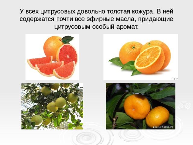 У всех цитрусовых довольно толстая кожура. В ней содержатся почти все эфирные масла, придающие цитрусовым особый аромат.