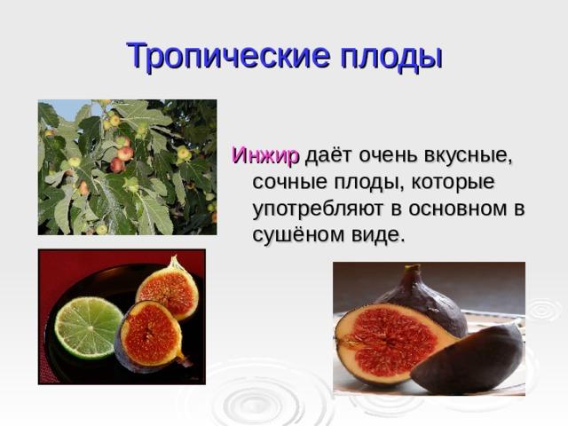 Тропические плоды Инжир даёт очень вкусные, сочные плоды, которые употребляют в основном в сушёном виде.