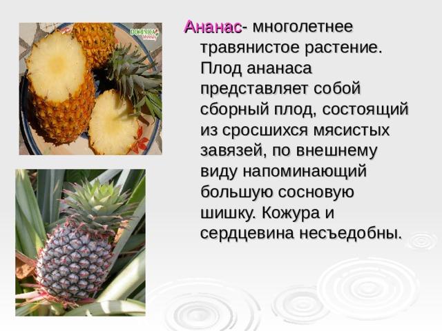 Ананас - многолетнее травянистое растение. Плод ананаса представляет собой сборный плод, состоящий из сросшихся мясистых завязей, по внешнему виду напоминающий большую сосновую шишку. Кожура и сердцевина несъедобны.