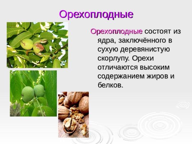 Орехоплодные Орехоплодные состоят из ядра, заключённого в сухую деревянистую скорлупу. Орехи отличаются высоким содержанием жиров и белков.