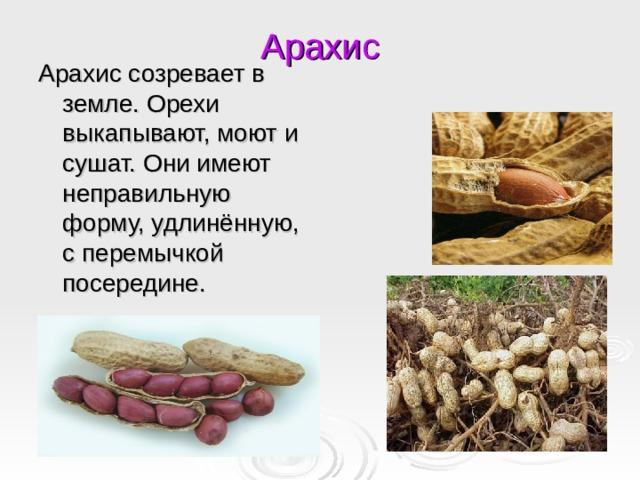 Арахис Арахис созревает в земле. Орехи выкапывают, моют и сушат. Они имеют неправильную форму, удлинённую, с перемычкой посередине.