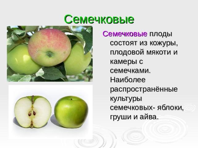 Семечковые Семечковые плоды состоят из кожуры, плодовой мякоти и камеры с семечками. Наиболее распространённые культуры семечковых- яблоки, груши и айва.