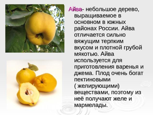 Айва - небольшое дерево, выращиваемое в основном в южных районах России. Айва отличается сильно вяжущим терпким вкусом и плотной грубой мякотью. Айва используется для приготовления варенья и джема. Плод очень богат пектиновыми ( желирующими) веществами, поэтому из неё получают желе и мармелады.