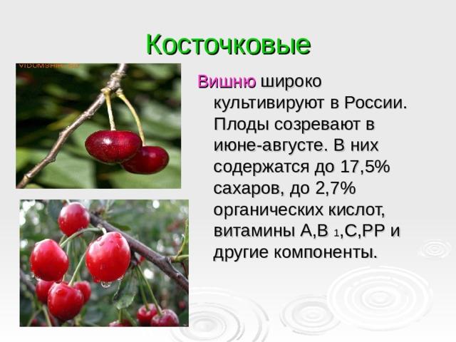 Косточковые Вишню широко культивируют в России. Плоды созревают в июне-августе. В них содержатся до 17,5% сахаров, до 2,7% органических кислот, витамины А,В 1 ,С,РР и другие компоненты.