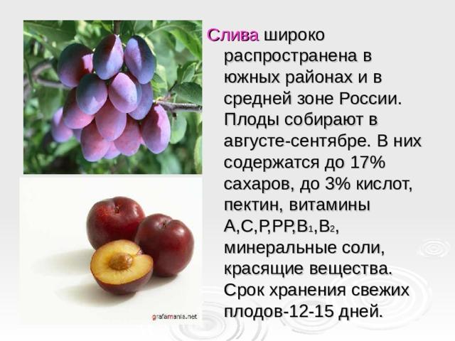 Слива широко распространена в южных районах и в средней зоне России. Плоды собирают в августе-сентябре. В них содержатся до 17% сахаров, до 3% кислот, пектин, витамины А,С,Р,РР,В 1 ,В 2 , минеральные соли, красящие вещества. Срок хранения свежих плодов-12-15 дней.