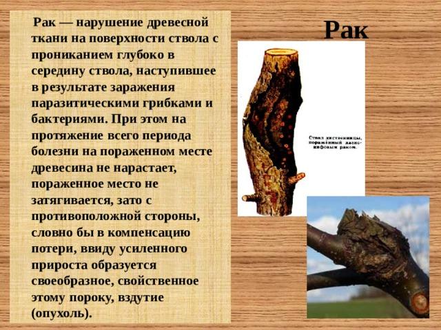 Рак  Рак — нарушение древесной ткани на поверхности ствола с прониканием глубоко в середину ствола, наступившее в результате заражения паразитическими грибками и бактериями. При этом на протяжение всего периода болезни на пораженном месте древесина не нарастает, пораженное место не затягивается, зато с противоположной стороны, словно бы в компенсацию потери, ввиду усиленного прироста образуется своеобразное, свойственное этому пороку, вздутие (опухоль).