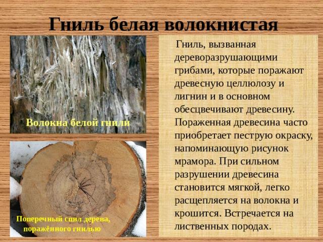 Гниль белая волокнистая  Гниль, вызванная дереворазрушающими грибами, которые поражают древесную целлюлозу и лигнин и в основном обесцвечивают древесину. Пораженная древесина часто приобретает пеструю окраску, напоминающую рисунок мрамора. При сильном разрушении древесина становится мягкой, легко расщепляется на волокна и крошится. Встречается на лиственных породах. Волокна белой гнили Поперечный спил дерева, поражённого гнилью