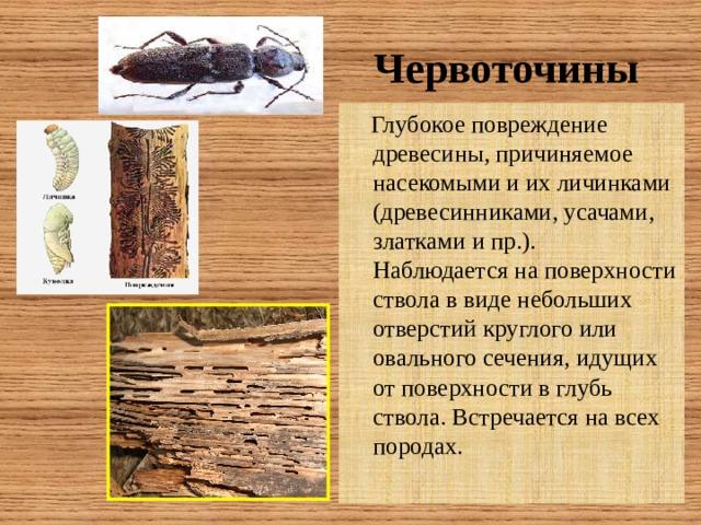 Червоточины  Глубокое повреждение древесины, причиняемое насекомыми и их личинками (древесинниками, усачами, златками и пр.). Наблюдается на поверхности ствола в виде небольших отверстий круглого или овального сечения, идущих от поверхности в глубь ствола. Встречается на всех породах.