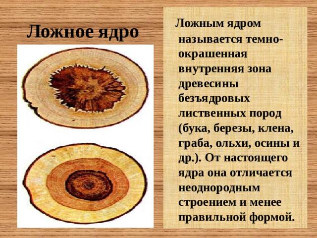 Ложным ядром называется темно- окрашенная внутренняя зона древесины безъядровых лиственных пород (бука, березы, клена, граба, ольхи, осины и др.). От настоящего ядра она отличается неоднородным строением и менее правильной формой. Ложное ядро