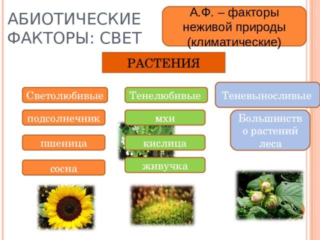 АБИОТИЧЕСКИЕ ФАКТОРЫ: СВЕТ А.Ф. – факторы неживой природы (климатические) РАСТЕНИЯ Теневыносливые  Светолюбивые Тенелюбивые  подсолнечник мхи Большинство растений леса пшеница кислица живучка сосна