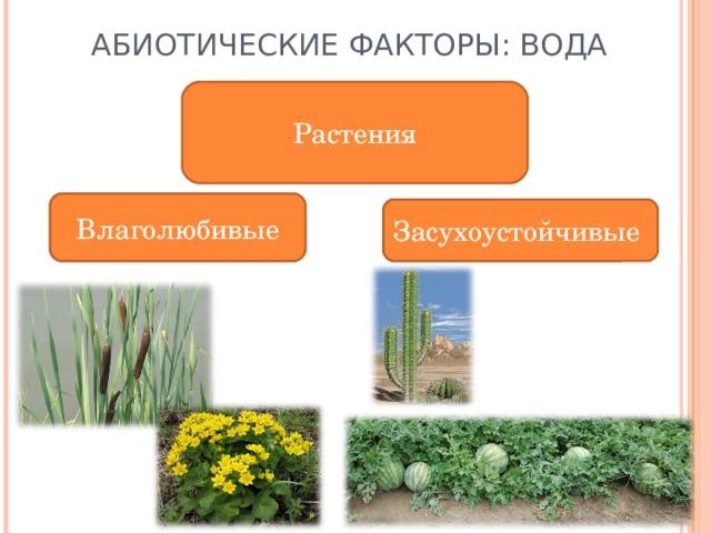 АБИОТИЧЕСКИЕ ФАКТОРЫ: ВОДА Растения Влаголюбивые Влаголюбивые Засухоустойчивые Засухоустойчивые