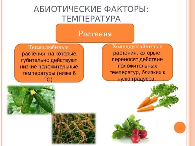 АБИОТИЧЕСКИЕ ФАКТОРЫ: ТЕМПЕРАТУРА Растения Теплолюбивые растения, на которые губительно действуют низкие положительные температуры (ниже 6 °С) Холодоустойчивые растения, которые переносят действие положительных температур, близких к нулю градусов.
