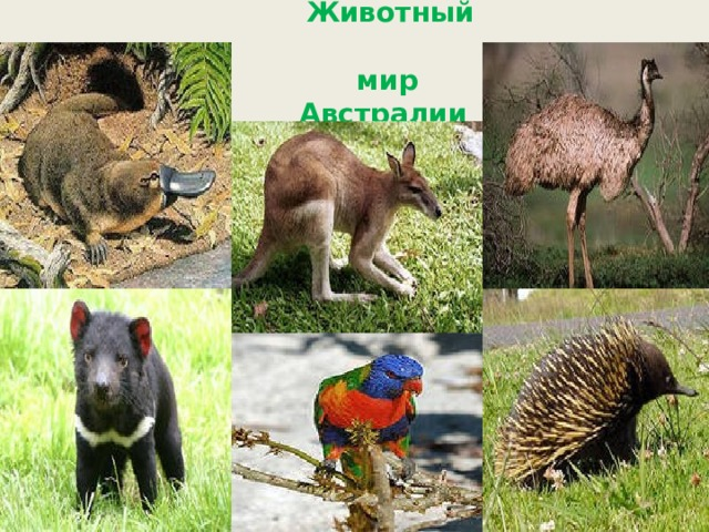 Животный  мир  Австралии