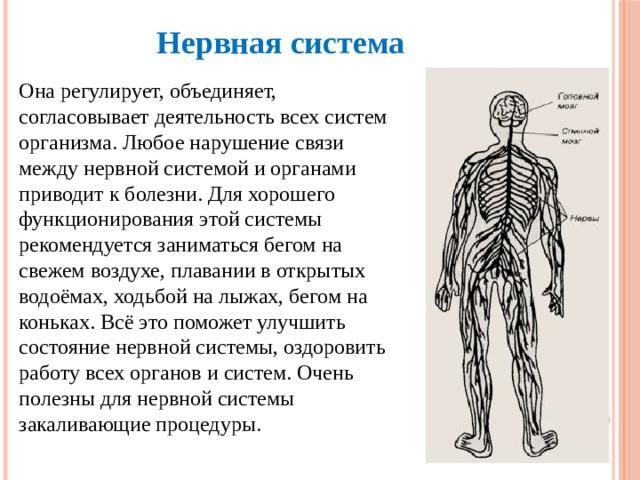 Нервная система Она регулирует, объединяет, согласовывает деятельность всех систем организма. Любое нарушение связи между нервной системой и органами приводит к болезни. Для хорошего функционирования этой системы рекомендуется заниматься бегом на свежем воздухе, плавании в открытых водоёмах, ходьбой на лыжах, бегом на коньках. Всё это поможет улучшить состояние нервной системы, оздоровить работу всех органов и систем. Очень полезны для нервной системы закаливающие процедуры.