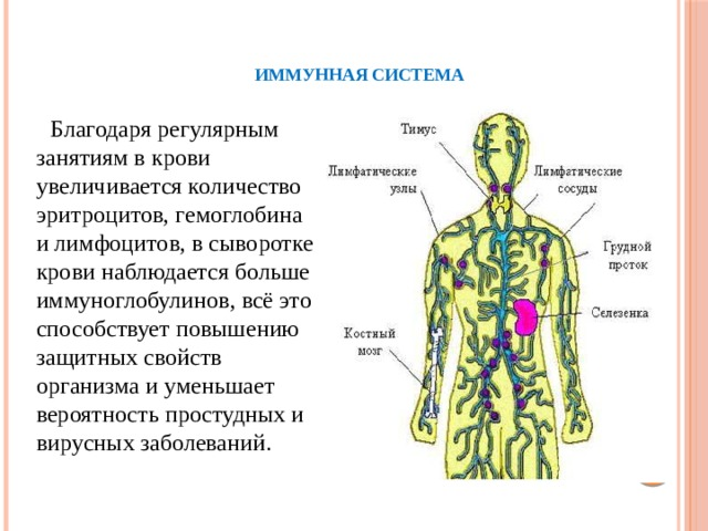 Иммунная система     Благодаря регулярным занятиям в крови увеличивается количество эритроцитов, гемоглобина и лимфоцитов, в сыворотке крови наблюдается больше иммуноглобулинов, всё это способствует повышению защитных свойств организма и уменьшает вероятностьпростудных и вирусных заболеваний.