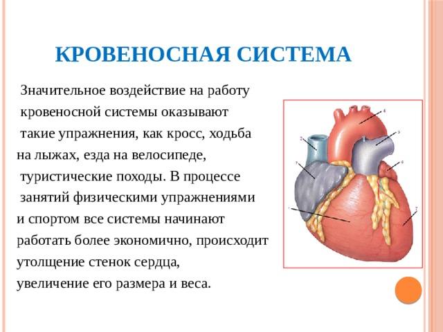 Кровеносная система  Значительное воздействие на работу  кровеносной системы оказывают  такие упражнения, как кросс, ходьба на лыжах, езда на велосипеде,  туристические походы. В процессе  занятий физическими упражнениями и спортом все системы начинают работать более экономично, происходит утолщение стенок сердца, увеличение его размера и веса.