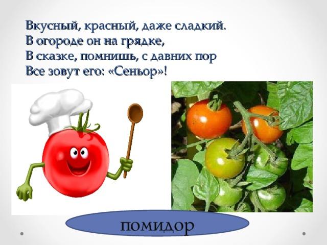 Вкусный, красный, даже сладкий.  В огороде он на грядке,  В сказке, помнишь, с давних пор  Все зовут его: «Сеньор»! помидор