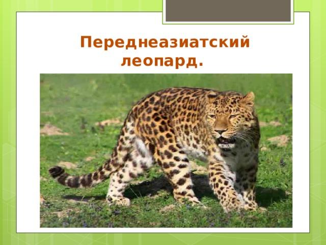 Переднеазиатский леопард.