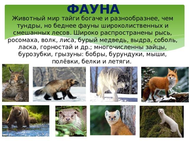 ФАУНА Животный мир тайги богаче и разнообразнее, чем тундры, но беднее фауны широколиственных и смешанных лесов. Широко распространены рысь, росомаха, волк, лиса, бурый медведь, выдра, соболь, ласка, горностай и др.; многочисленны зайцы, бурозубки, грызуны: бобры, бурундуки, мыши, полёвки, белки и летяги.