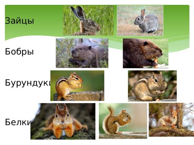 Зайцы Бобры Бурундуки Белки