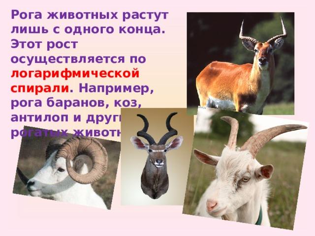 Рога животных растут лишь с одного конца. Этот рост осуществляется по логарифмической спирали . Например, рога баранов, коз, антилоп и других рогатых животных .