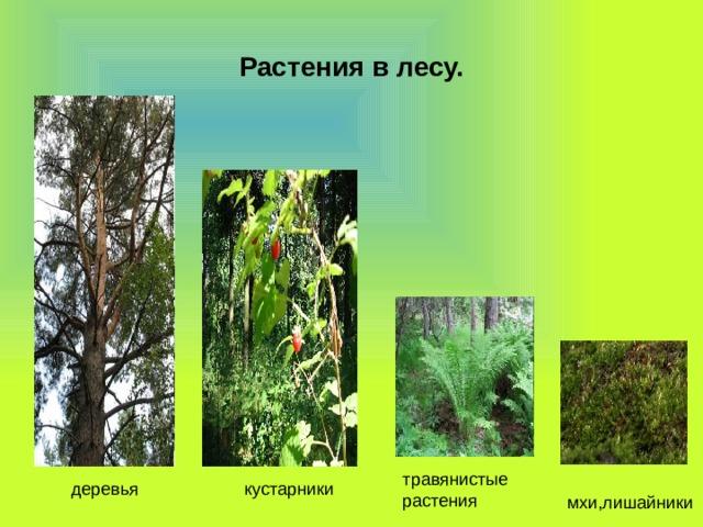 Растения в лесу. травянистые растения  мхи,лишайники  деревья  кустарники