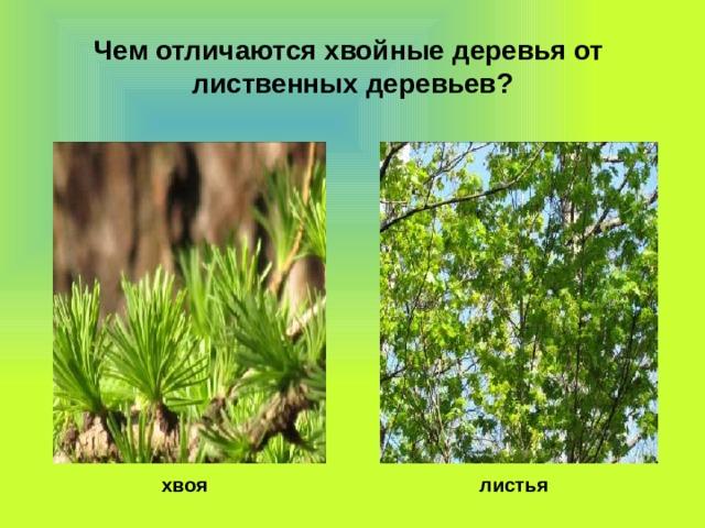 Чем отличаются хвойные деревья от лиственных деревьев?  хвоя  листья