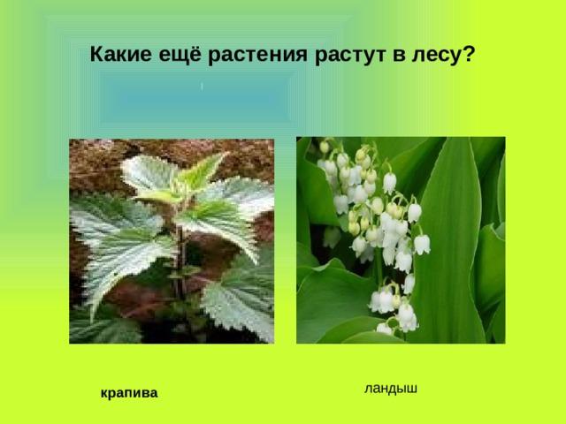 Какие ещё растения растут в лесу? ландыш крапива