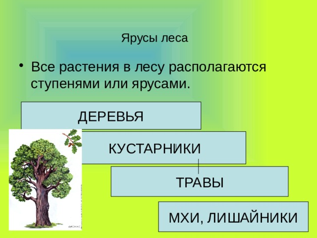 Ярусы леса Все растения в лесу располагаются ступенями или ярусами. ДЕРЕВЬЯ КУСТАРНИКИ ТРАВЫ МХИ, ЛИШАЙНИКИ