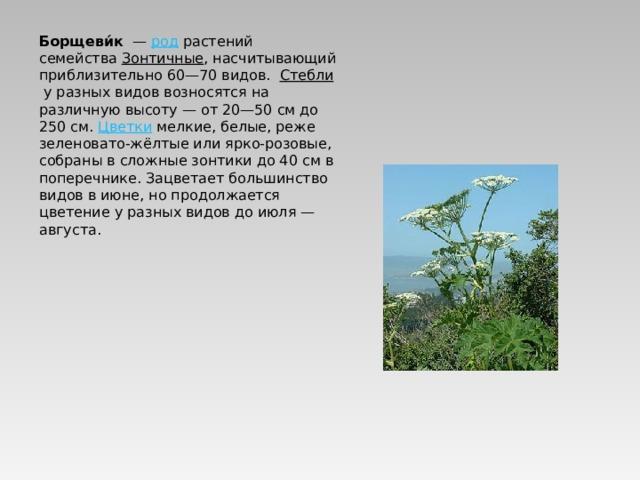 Борщеви́к — род растений семейства Зонтичные , насчитывающий приблизительно 60—70 видов.  Стебли у разных видов возносятся на различную высоту— от 20—50см до 250см. Цветки мелкие, белые, реже зеленовато-жёлтые или ярко-розовые, собраны в сложные зонтики до 40см в поперечнике. Зацветает большинство видов в июне, но продолжается цветение у разных видов до июля— августа.