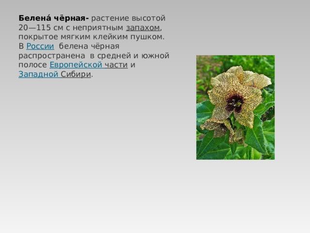 Белена́ чёрная- растение высотой 20—115см с неприятным запахом , покрытое мягким клейким пушком. В России  белена чёрная распространена в средней и южной полосе Европейской части и Западной Сибири .