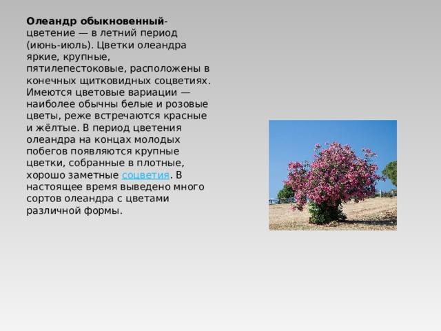 Олеандр обыкновенный - цветение— в летний период (июнь-июль). Цветки олеандра яркие, крупные, пятилепестоковые, расположены в конечных щитковидных соцветиях. Имеются цветовые вариации— наиболее обычны белые и розовые цветы, реже встречаются красные и жёлтые. В период цветения олеандра на концах молодых побегов появляются крупные цветки, собранные в плотные, хорошо заметные соцветия . В настоящее время выведено много сортов олеандра с цветами различной формы.