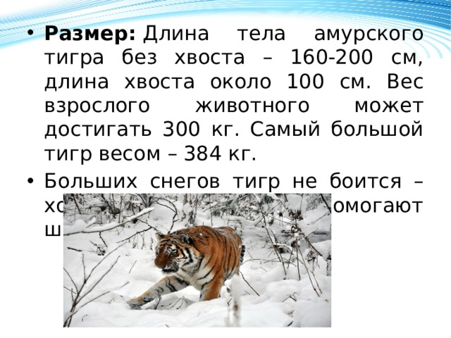 Размер: Длина тела амурского тигра без хвоста – 160-200 см, длина хвоста около 100 см. Вес взрослого животного может достигать 300 кг. Самый большой тигр весом – 384 кг. Больших снегов тигр не боится – ходить по ним ему помогают широкие лапы.